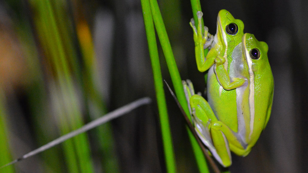 green tree frogs mating