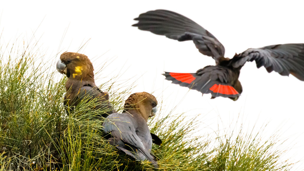three glossy black-cockatoos