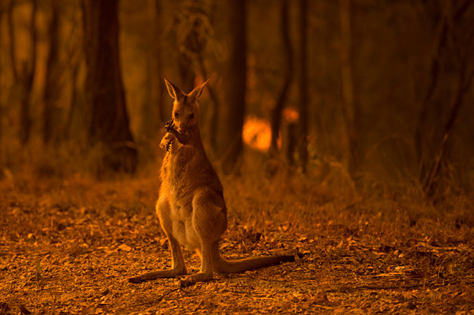 wallaby near a brushfire in New South Wales