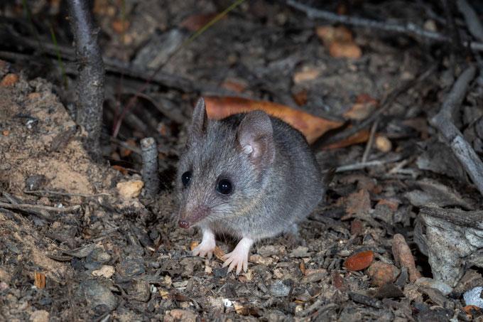 a Kangaroo Island dunnart