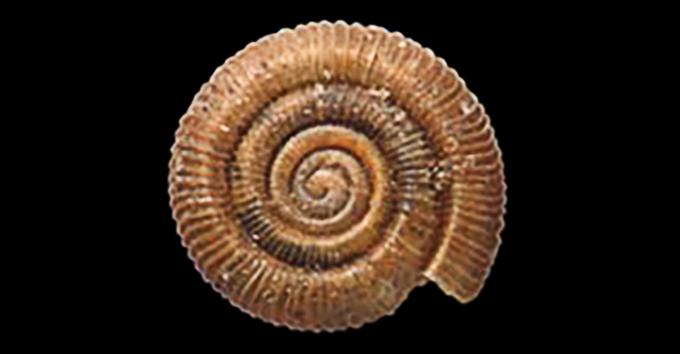 pinwheel snail
