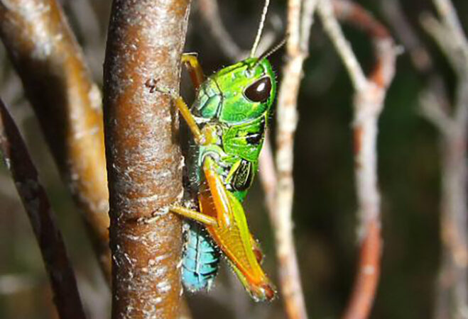 Chameleon grasshopper