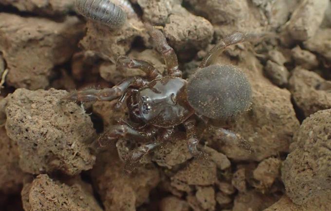 Kangaroo Island micro-trapdoor spider
