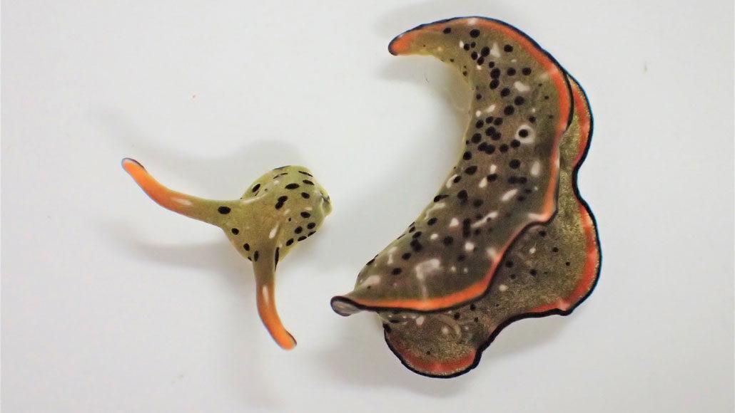 sea slug body next to detached head