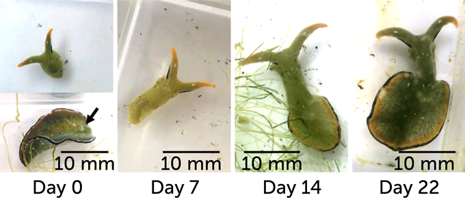 sea slug body regeneration on day 0, day 7, day 14 and day 22