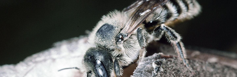 female mason bee on hole in plant stem
