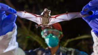 researcher holding wrinkle-lipped bat by wings