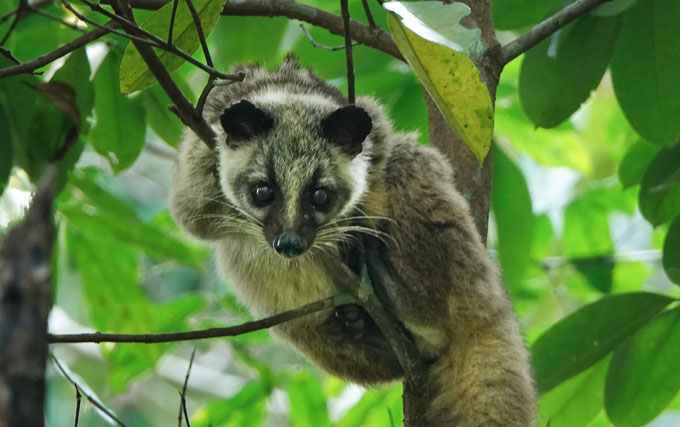 masked palm civet in tree