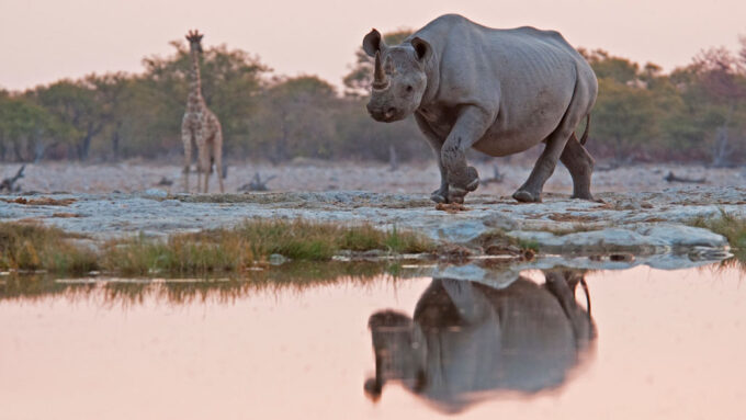 image of a giraffe and a rhinoceros in Namibia