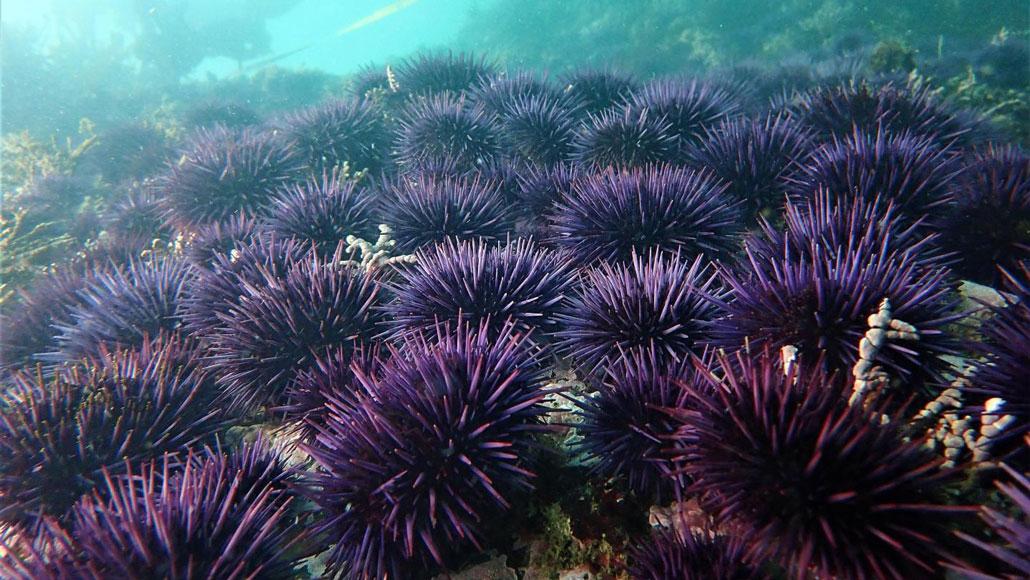 urchin barren
