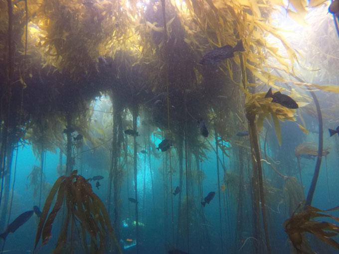 underwater image of bull kelp