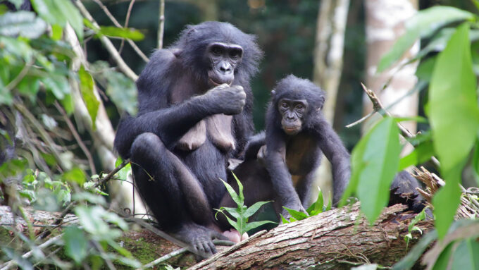 mother bonobo sitting with her adopted baby