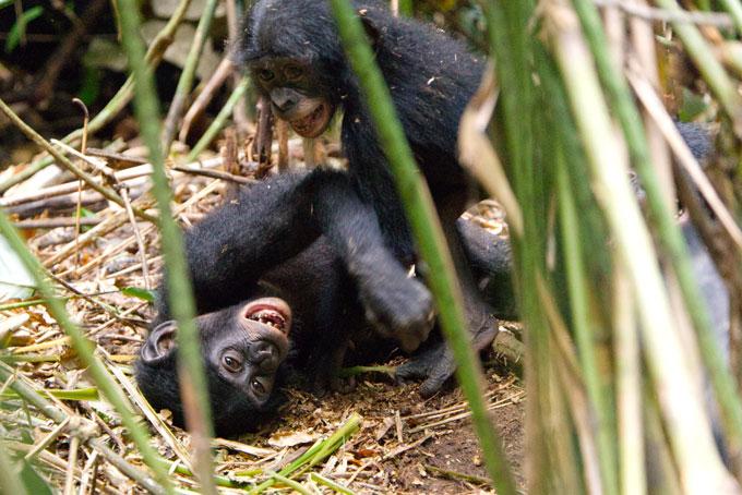 two bonobo babies playing