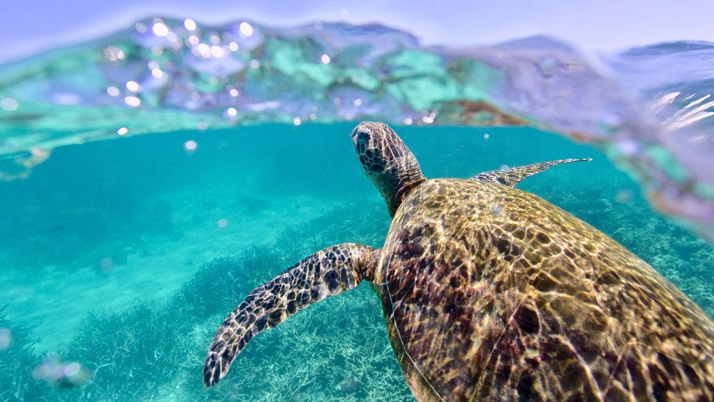 green sea turtle swimming
