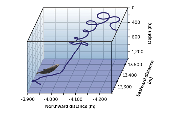 chart of Cuvier's beaked whale's path to the surface