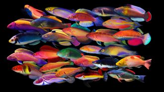 male fairy wrasse fish
