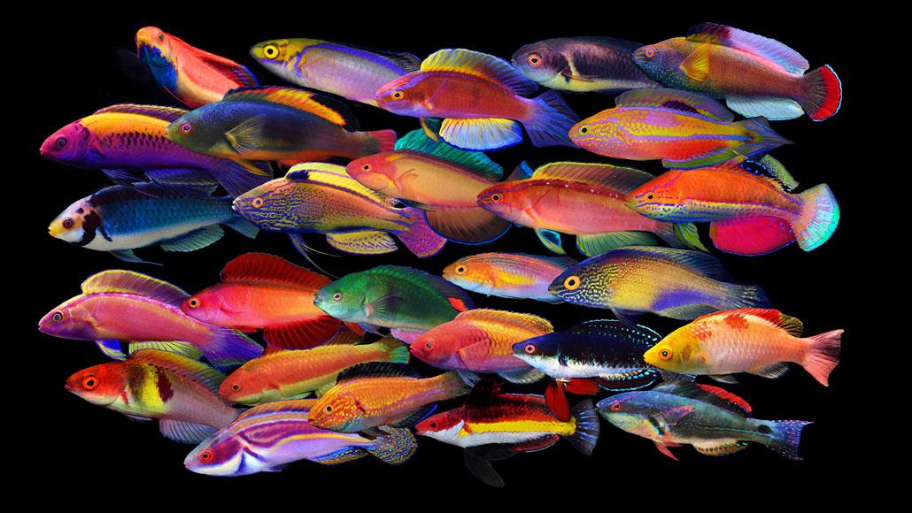 male fairy wrasse fish