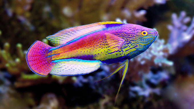 fairy wrasse fish with lavender stripe