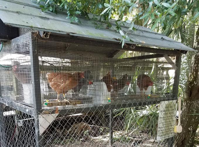 chickens in an oudoor coop