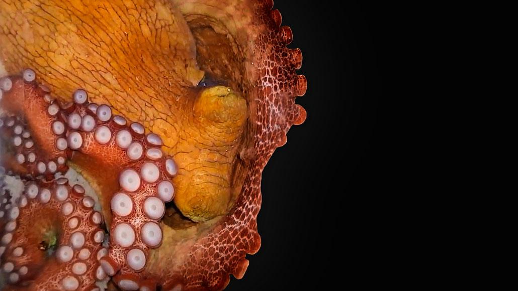a sleeping octopus