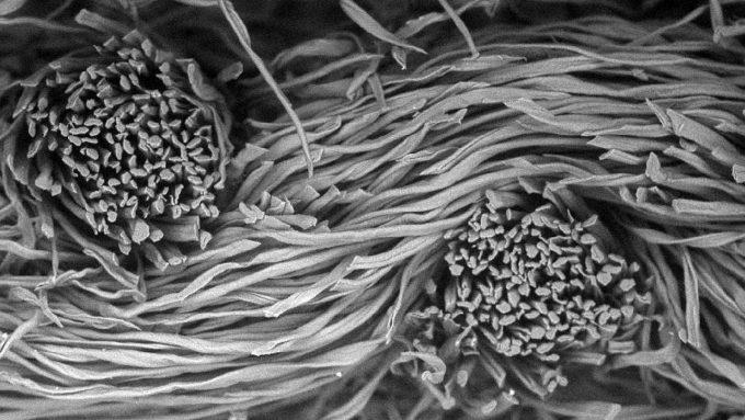 microscope image of a fibers in cotton flannel