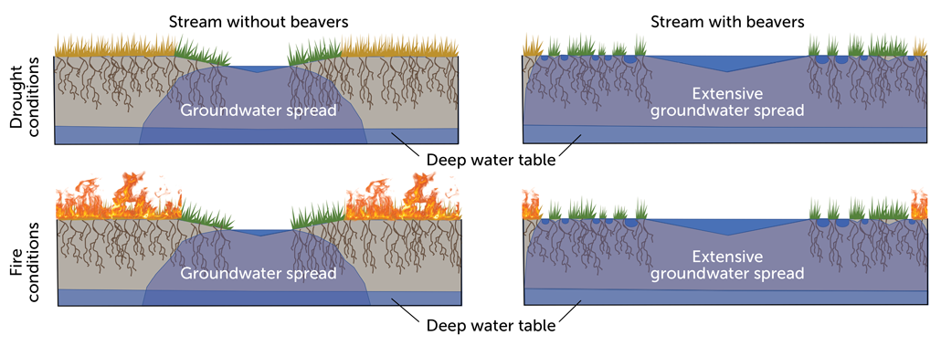 diagrams of groundwater spread in streams with and without beavers in drought and fire conditions