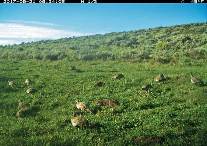 camera trap image of sage grouse