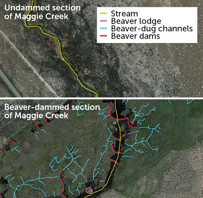 Satellite images of undammed and Beaver-dammed sections of Maggie Creek