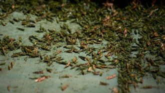 piles of grasshoppers on a sidewalk