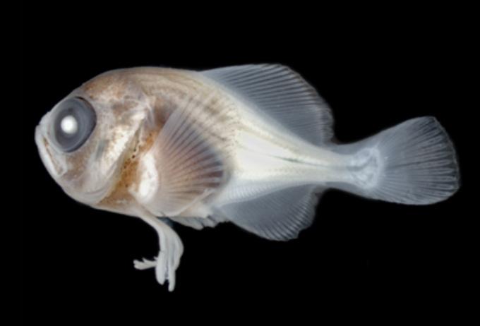 dead pomfret larva specimen