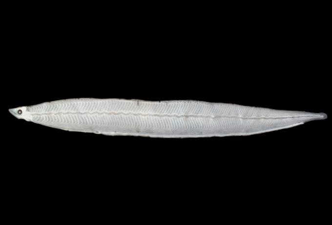 dead conger larva specimen