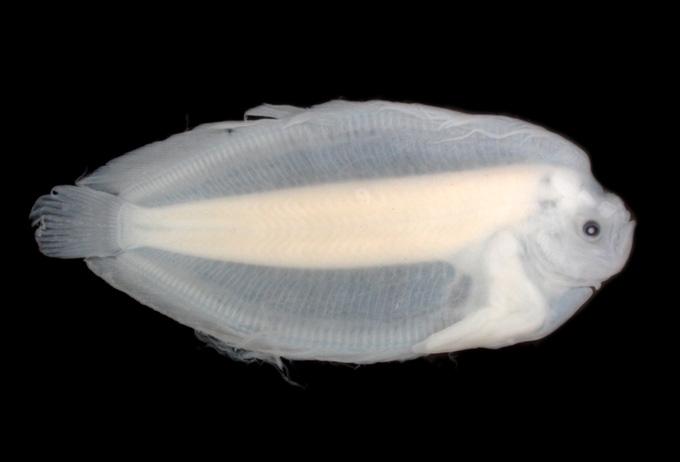 dead flounder larva specimen