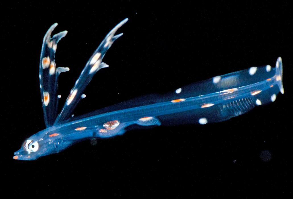 live tripodfish larva