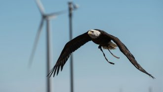 bald eagle soaring in front of a wind turbine