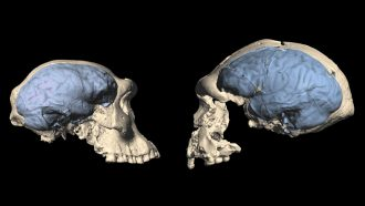 models of an early human skull and an apelike skull with brains highlighted in blue