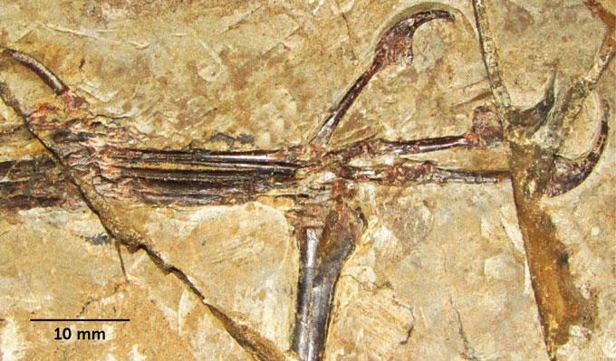 fossilized hand of 'Monkeydactyl'