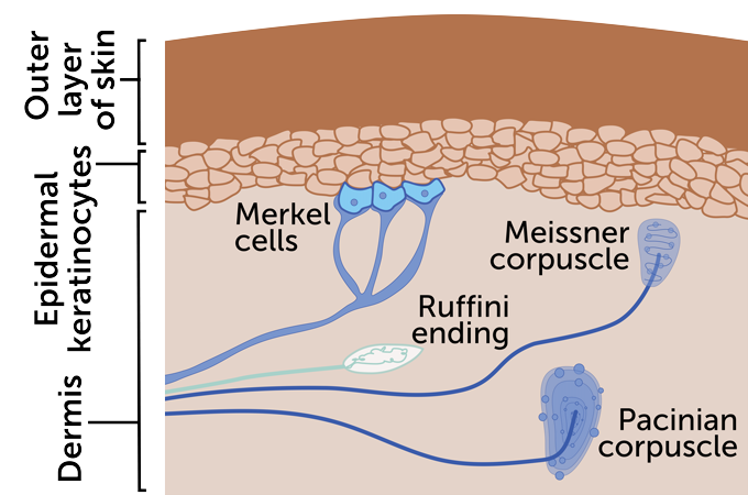 diagram of the four main types of touch receptors in skin