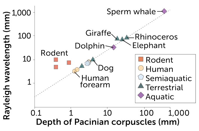 scatter plot of the ratio of Rayleigh wavelength to touch receptor depth in various mammals