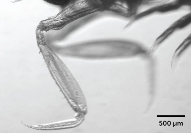 black and white image of the arm of a mantis shrimp larva