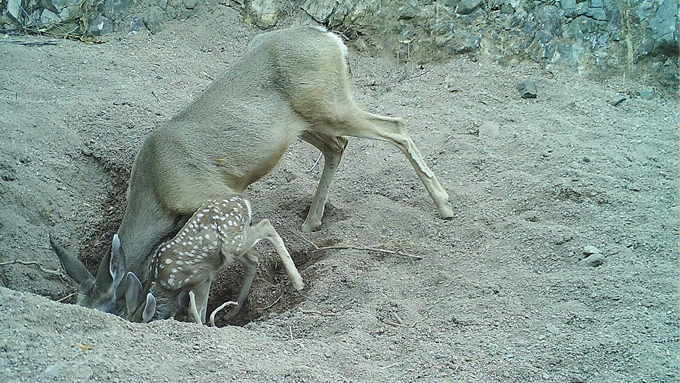 a doe and fawn leaning down to drink water out of a hole in the ground