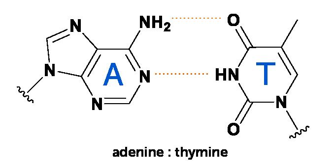 diagrama de la unión de adenina base de ADN a timina
