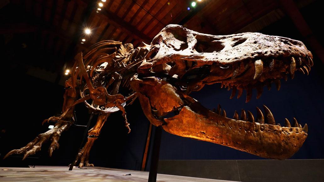 head of T. rex fossil