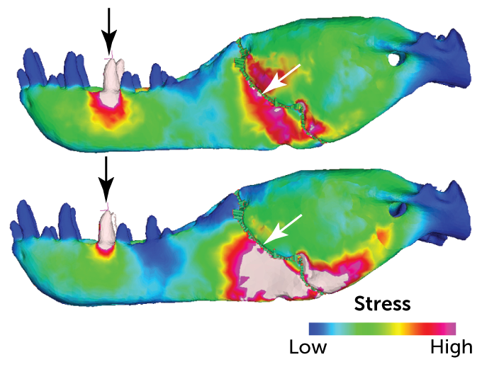 stress simulation of T. rex jaw