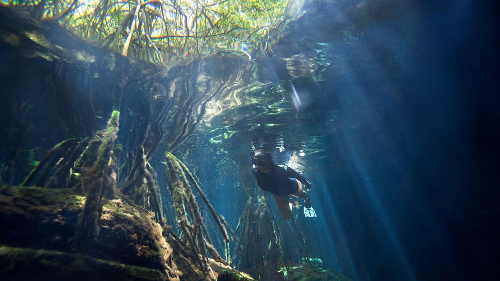 Mangrove trees in Mexico's Cristalino Cenote