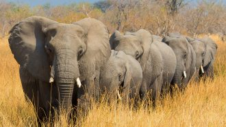 African elephants walking in a line