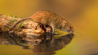 mouse drinking water