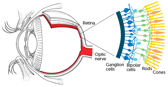 diagram of the eye, showing detail on the retina