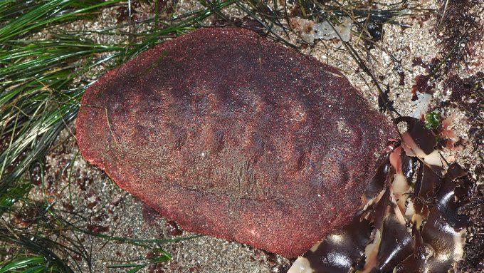 Cryptochiton stelleri on the seafloor
