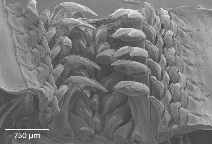 Imagen de microscopio de dientes de quitón