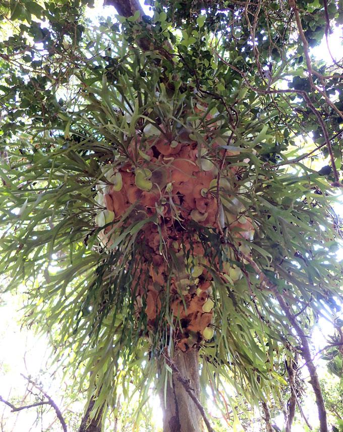staghorn fern colony on an island cedar tree